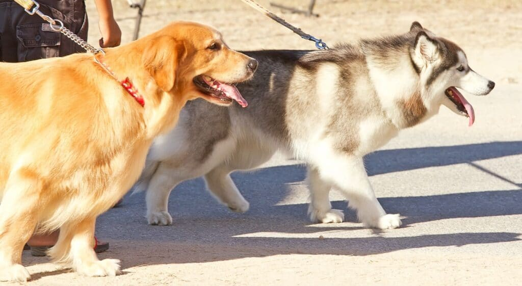 Responsible Pet Owners Walking Dogs On Leash